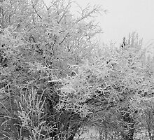 Frost Coated Trees by Sandra Foster