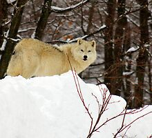 Arctic Wolf on the Alert by vette