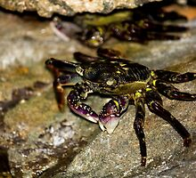Rock Crab - Beachcomber Series by reflector