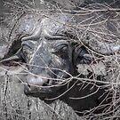 Buffalo stare, Kruger by herbpayne