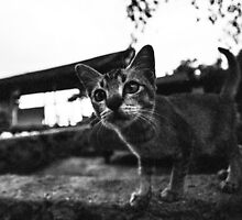 Stray Cat on Tioman Island by TimothyAJ