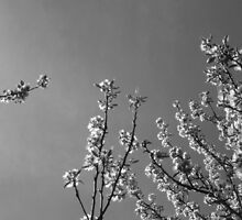 Flowering cherry trees - monochrome by intensivelight