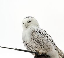 Content Snowy Owl  by Thomas Young