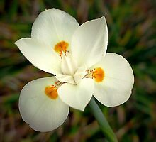 African (Buttefly?) Iris by triciamary