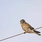 Kestrel On A Wire by Thomas Young