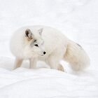Arctic Fox by Poete100