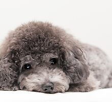 toy poodle by Jean88123