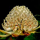 White Waratah by pcbermagui