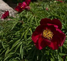 Deep Red Peony Garden by Georgia Mizuleva