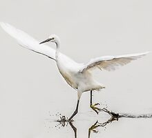 Little Egret Splashing by TimNatureArt