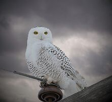 Dynamic Portrait Of A Snowy Owl by Thomas Young