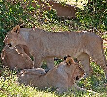 Lioness Retreat by phil decocco