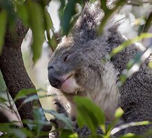 Sleepy Koala by LaniPix