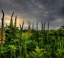 Wild Lupine by Charles & Patricia   Harkins ~ Picture Oregon