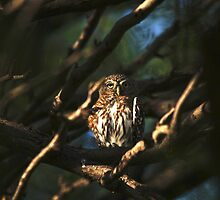 Pearl Spotted Owl by Jennifer Sumpton