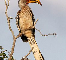 Yellow Billed Hornbill by Jennifer Sumpton