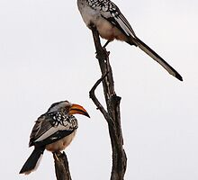 Yellow Billed Hornbills by Jennifer Sumpton