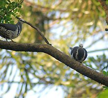Pair of Wonga Pigeons. by Loachlover