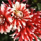 flower-dahlia-red-white-trio by Joy Watson