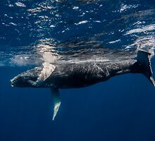 Playful Humpback Whale Baby by Wolfgang Zwicknagl Photography