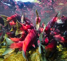 Sockeye Salmon Run by Wolfgang Zwicknagl Photography