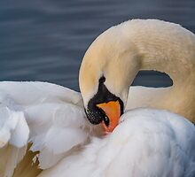 Mute swan by Dave  Knowles