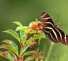 Zebra Longwing Butterfy by Larry Baker