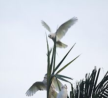 Suburban Cockatoo's Brisbane Australia by Flashoneblue