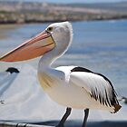 A breeding Australian Pelican by Ian Berry