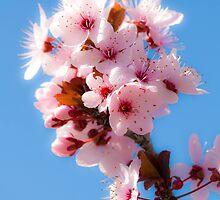 Soft Sakura Suffusion by DoctorPedro