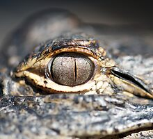 'Gator Eye 2 by jvoweaver