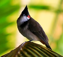Red Wiskered Bulbul -  Mauritius by john  Lenagan