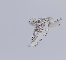 North American Birds In Flight by Thomas Young