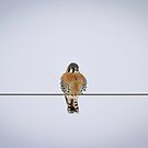 Kestrel Alone On A Wire by Thomas Young
