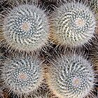 Mammillaria geminispira by John Thurgood