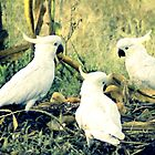 bush Cockatoos  by Trish Threlfall