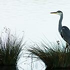 Grey Heron by Ralph Goldsmith