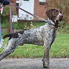 German Shorthaired Pointer by EmilyWednesday