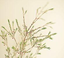 Waxflower by Cassia