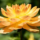 Sunrise in a Dahlia by Belinda Osgood