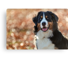A Bernese Mountain Dog enjoys Iowa Canvas Print
