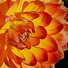Sunset Dahlia by Cee Neuner