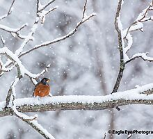 American Robin in the Snow - East Concord, NH 01-18-14 by David Lipsy
