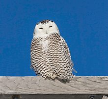 Sleepy Snowy Owl by Thomas Young