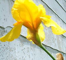 Daffodil on the House by artbybutterfly