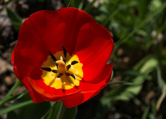 Bright and Red Sunny Tulip by Georgia Mizuleva