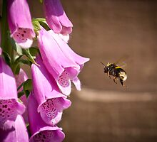 Foxglove by cjrichardsphoto
