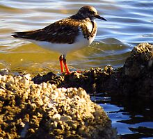 Ruddy Turnstone by Phyllis Beiser