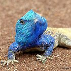 I'm Having A Blue Blue Day... Blue-Head Agama Lizard - Kurger Park SA by AndreaEL