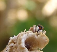 Perched Jumping Spider by Michelle McCullough